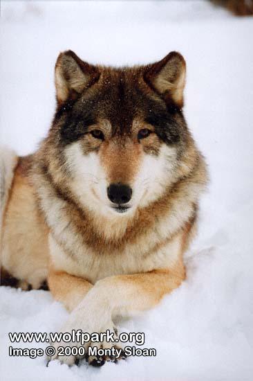 http://www.wolfpark.narod.ru/wolves/memory/pillow_pack/Alyeska_4.jpg